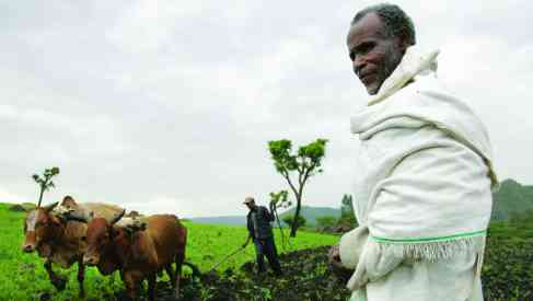 Ploughing with cattle in southwestern Ethiopia.